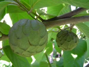 Le Chérimolier qui produit  le fruit de annona cherimola cherimoya